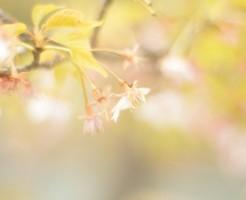 桜餅の葉に使用される種類は?品種選びの理由