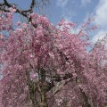 京都の桜の名所、原谷苑は他と何が違う?