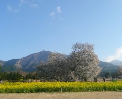 一心行の桜(阿蘇)の住所と注意点について