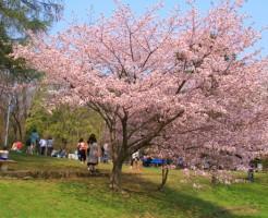 京都円山公園の枝垂れ桜を堪能する為に