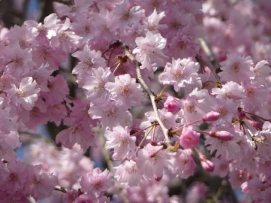 しだれ桜の名所【関東】「埼玉」「千葉」