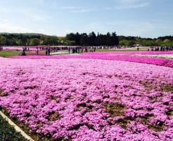 富士芝桜まつりの混雑を確実に回避する方法
