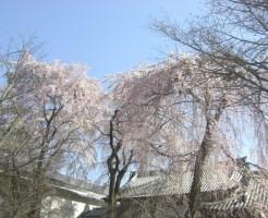 醍醐寺の桜の見ごろと、知っておきたい事