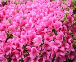 葛城山のツツジ開花時期と満喫する為の豆知識