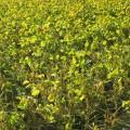 黒枝豆の品種の違いと王道的な産地固定種