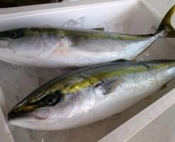 出世魚の種類一覧と関連する「ことわざ」