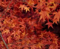 善光寺の紅葉、見逃せない時期と見ごろに関して