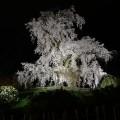 京都の夜桜「円山公園のかがり火と注意点」