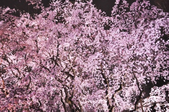 しだれ桜の名所、関東「東京で人気の場所」