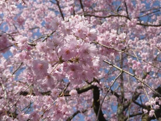 しだれ桜の花言葉、秘めた恋心や純粋さを表す