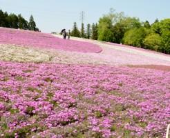 羊山公園「芝桜の丘」の開花と知りたい事