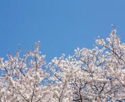 吉野山の桜の見ごろと、3万本に増えた理由