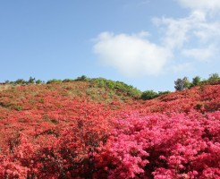 葛城山のツツジを登山に行く前に知るべき事