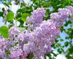 札幌ライラック祭りの時間と各催し物について