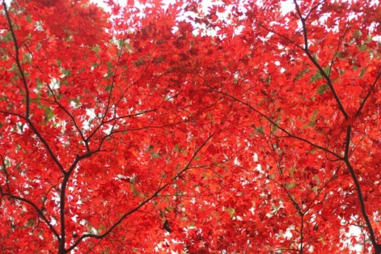 鎌倉の紅葉の時期と唯一ライトアップされる名所